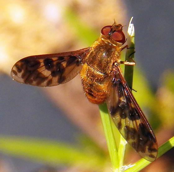 Bee fly 091213 - Dipalta banksi