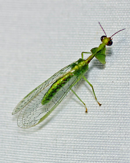 Mantisfly, possible Zeugomantispa minuta - Zeugomantispa minuta