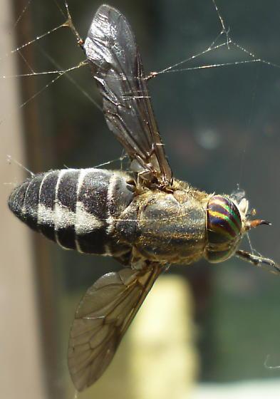 Hybomitra sodalis - female
