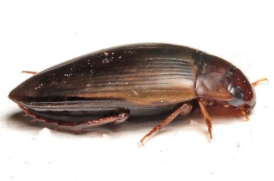 Aquatic beetle - Copelatus chevrolati