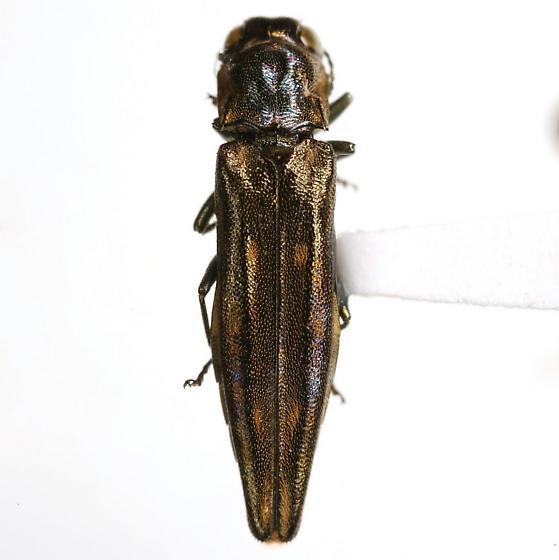 Agrilus exsapindi Vogt - Agrilus exsapindi