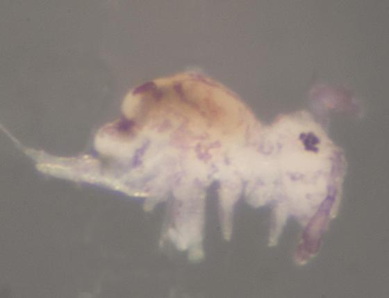 Unknown Globular Springtail - Calvatomina