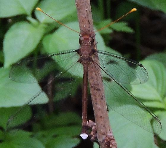 Owlfly - Haploglenius flavicornis