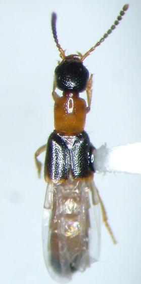 Neobisnius - Neobisnius paederoides