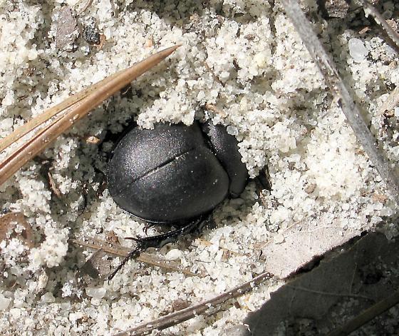 Mycotrupes retusus - female