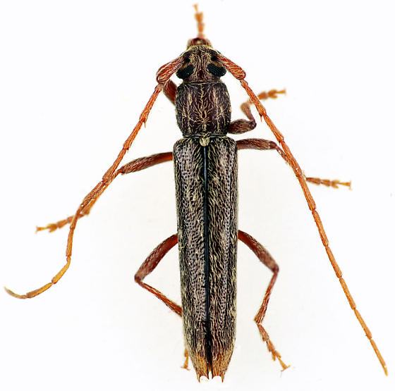 Longhorned Beetle - Anelaphus parallelus