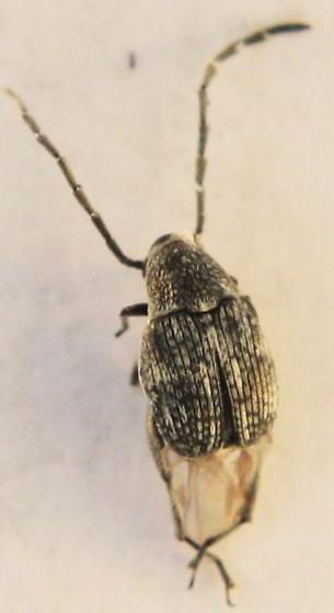 Bruchinae > ? - Stylantheus macrocerus