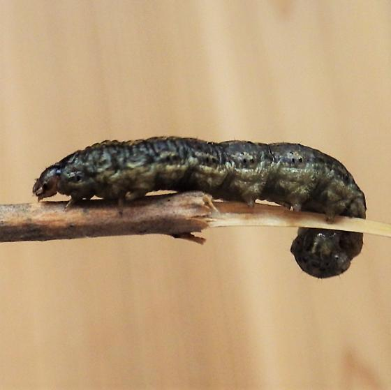 Noctuidae: Agrotis ipsilon - Agrotis ipsilon