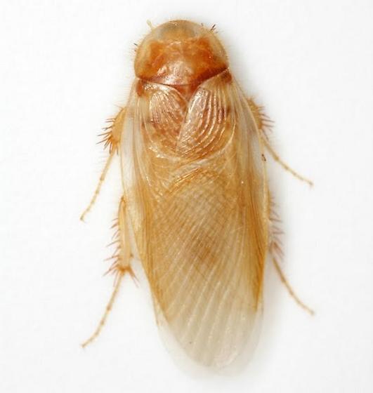 Eremoblatta subdiaphana (Scudder) - Eremoblatta subdiaphana