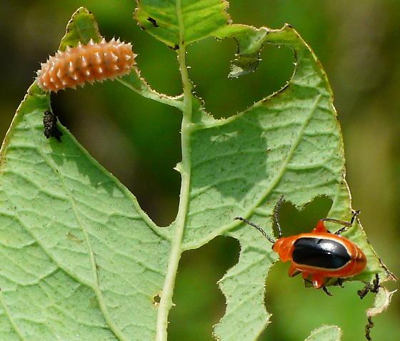 Passionflower Flea Beetle...larva and adult - Disonycha discoidea