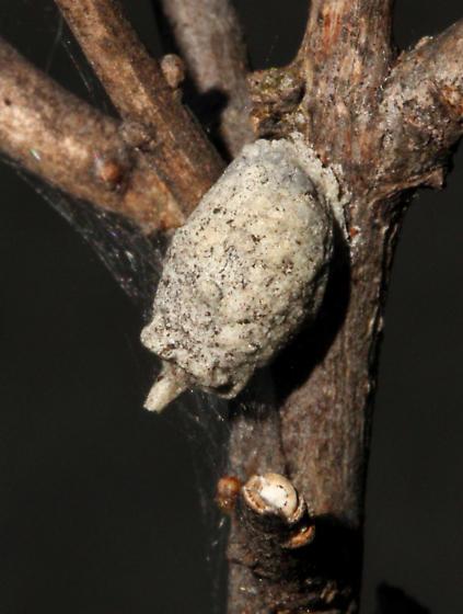 Megachilidae, nestX - Anthidiellum notatum - female
