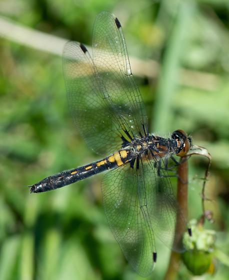 Belted or Frosted Whiteface if possible please - Leucorrhinia