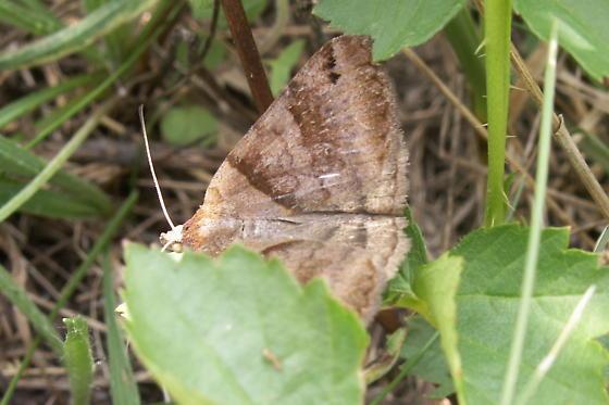 Clover Looper - Hodges #8738 - Caenurgina crassiuscula