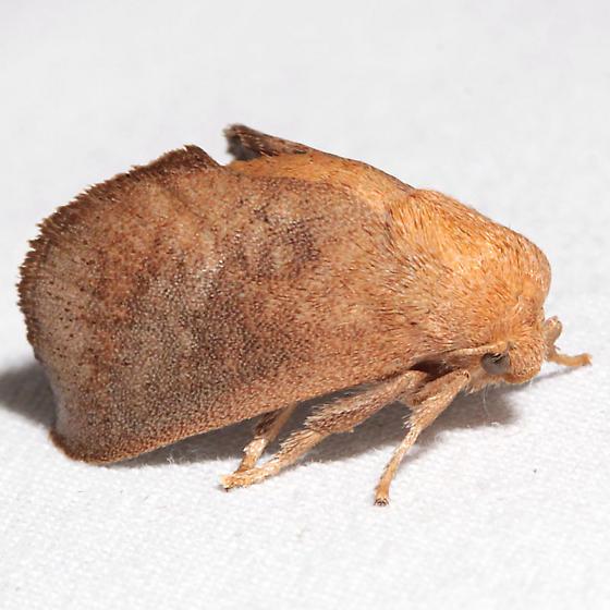 Isa textula - female