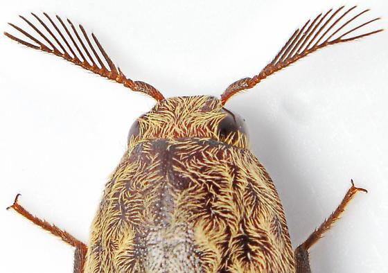 Pherhimius fascicularis
