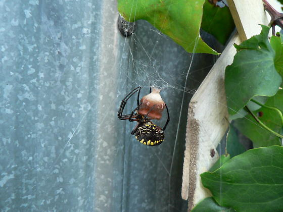 agiope just starting to lay her egg - Argiope aurantia - female