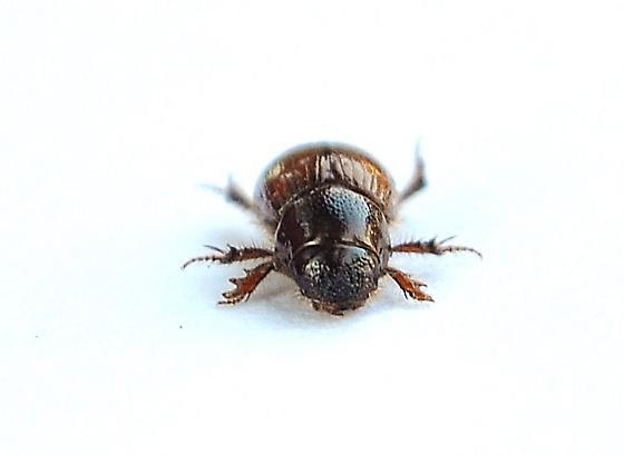Aphodiinae - Aegialia latispina