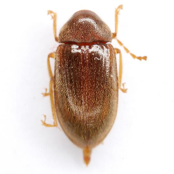 Ptilodactyla