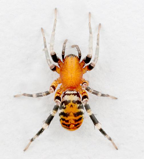 BG1180 C9708 - Castianeira amoena - female