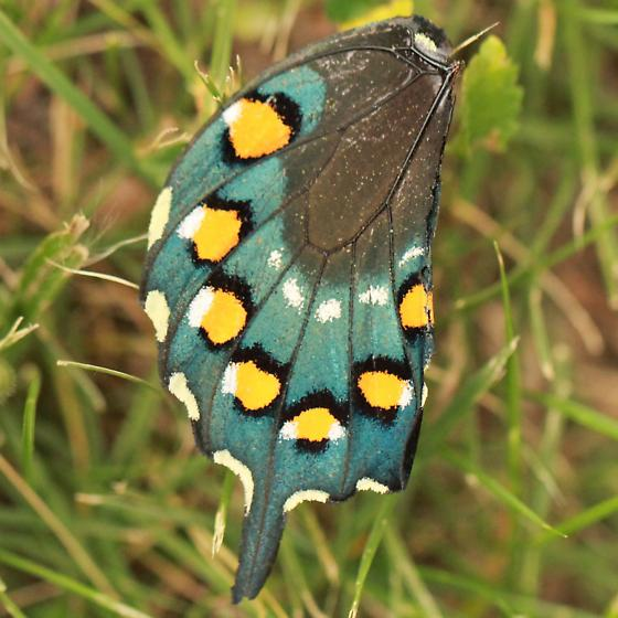 Pipevine Swallowtail - Hodges#4157 - Hind Wing Ventral - Battus philenor