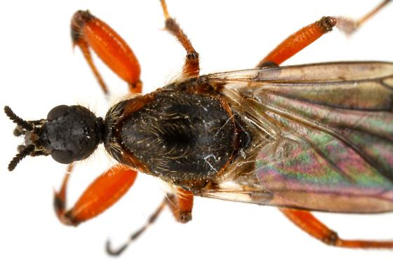 Bibio xanthopus? Female? - Bibio xanthopus - female