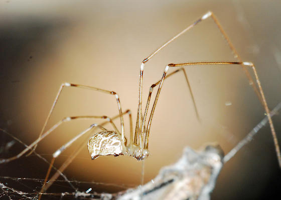 Attack of the Pseuton Spiders! Captured Grasshopper! - Holocnemus pluchei