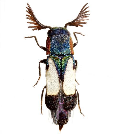 Xenorhipis osborni Knull - Xenorhipis osborni - male