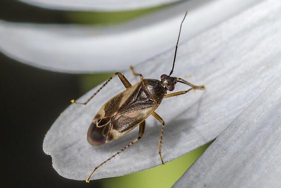 Plant bug - Plagiognathus obscurus