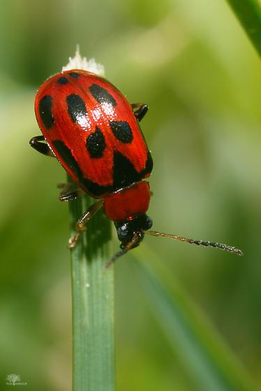 Red Beetle - Cerotoma trifurcata