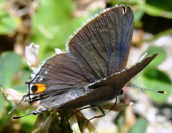 Gray Hairstreak Butterfly - Strymon melinus - female