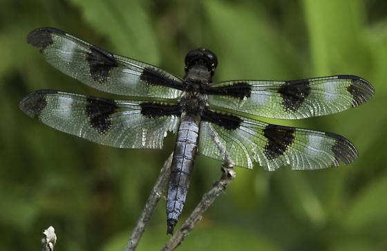 Twelve-spot - Libellula pulchella - male