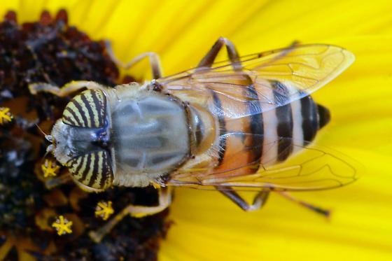 Diptera: Syrphid? - Eristalinus taeniops