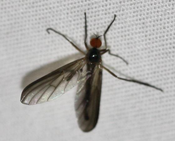 Empidoidea? - Rhamphomyia - male