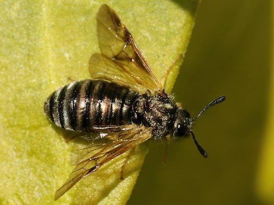 Cimbicid Sawfly sp. - Abia