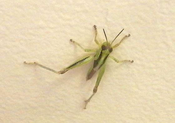 immature grasshopper - Melanoplus