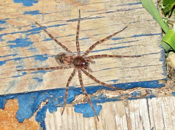 unknown HUGE MEAN Wolf spider?MD, United States. Every night dusk-3am,on my cellar doors for 3 months(cellar is 235yrs old) - Dolomedes