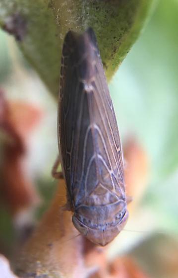 Leafhopper on Cercocarpus