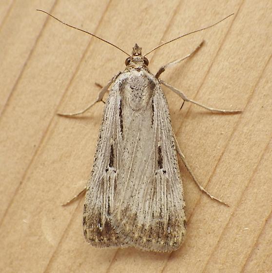 Erebidae: Tathorhynchus exsiccata - Tathorhynchus exsiccata