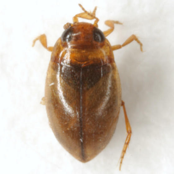 Uvarus lacustris (Say) - Uvarus lacustris