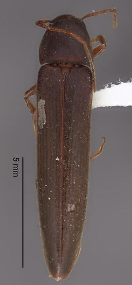 Cerambycidae?? - Serropalpus substriatus