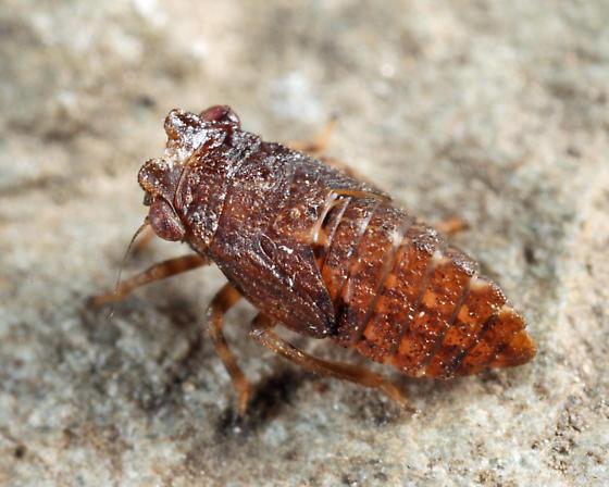 leafhopper nymph - Agallia
