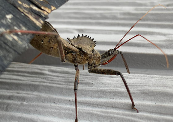 wheel bug? - Arilus cristatus