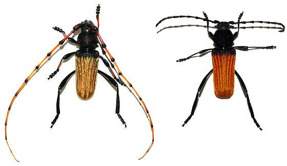 Tragidion densiventre? - Tragidion densiventre - male - female