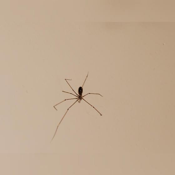 Bathroom Spider - Pholcus phalangioides