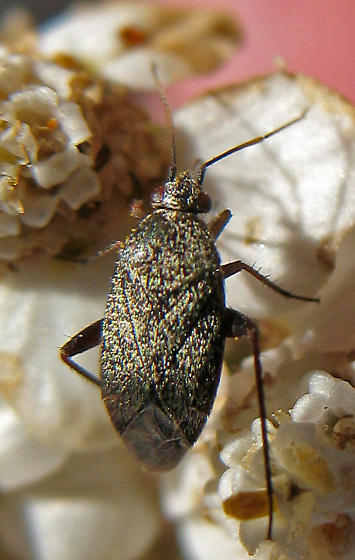 Mirid - Lepidargyrus ancorifer
