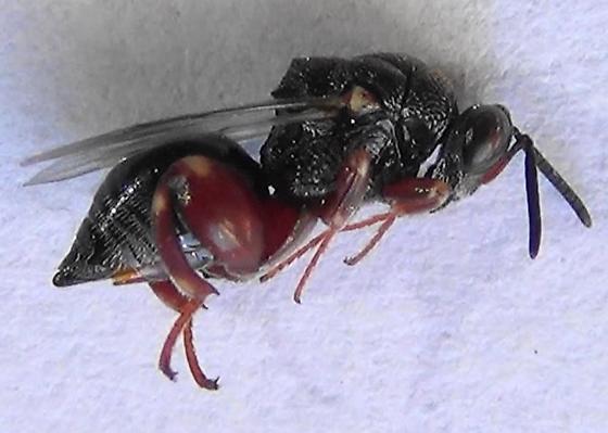 Black & Red Chalcid Wasp - Brachymeria podagrica - female