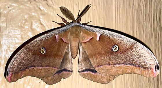 ?Polyphemus - Antheraea polyphemus - male