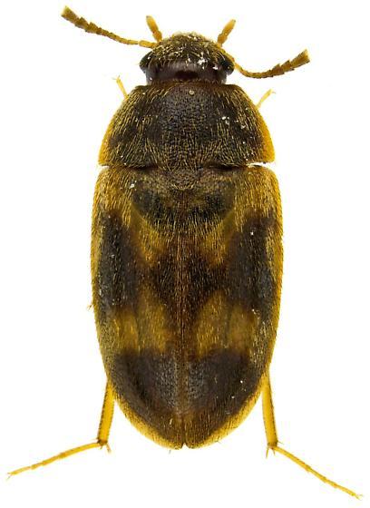 Mycetophagidae? - Litargus balteatus