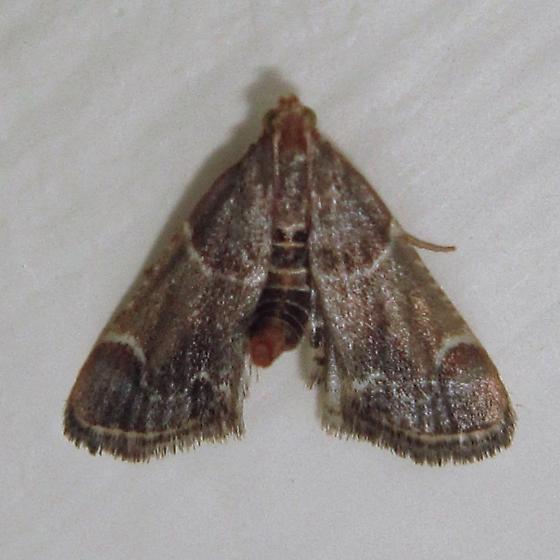 Meal Moth - Hodges# 5510 (Pyralis farinalis) - Pyralis farinalis