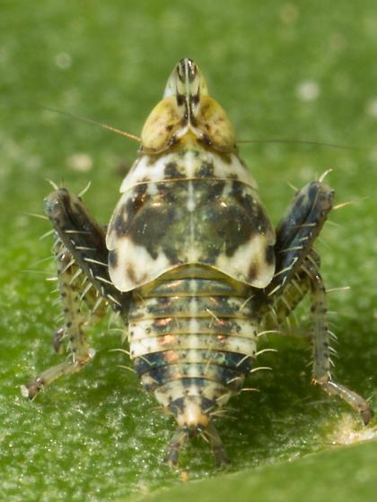 Cicadellid nymph?  - Tinobregmus vittatus